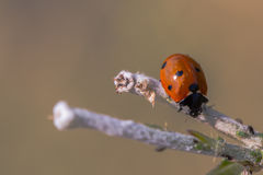 Ladybug on branch Stock Images