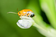 Ladybug  breed Stock Photography
