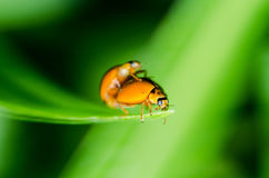 Ladybug  breed Stock Photo