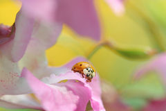 Ladybug in Bright Color Stock Photo