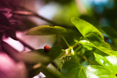 Ladybug on bright green leaves on a tree Stock Photos