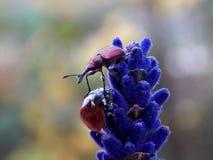 Ladybug and bug. Ladybug and beetle on the flower Stock Images