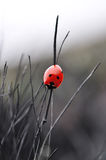 Ladybug on a burnt-out grass Stock Photo