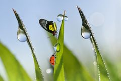 Ladybug and butterfly on blades of grass with dew drops. Royalty Free Stock Photos