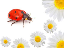 Ladybug with camomile Stock Images