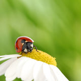 Ladybug on camomile Royalty Free Stock Images