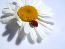Ladybug on a camomile Stock Photography