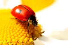 Ladybug on camomile Stock Photo