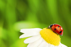 Ladybug on camomile Royalty Free Stock Photo
