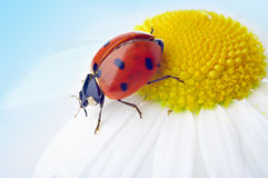 Ladybug on camomile flower Stock Photo