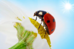 Ladybug on camomile flower Royalty Free Stock Images