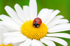 Ladybug on a camomile flower Stock Photography