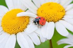 Ladybug on a camomile flower Royalty Free Stock Photos