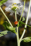 Ladybug on camomile flower stock images