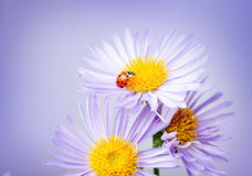 Ladybug on camomile Stock Photos