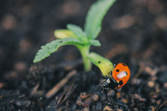 Ladybug on cannabis plant stock photo