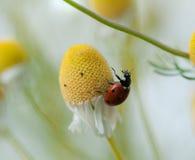 Ladybug on chamomile flower Royalty Free Stock Photo