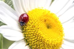 Ladybug on the chamomile flower. stock photo