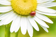Ladybug on a chamomile flower royalty free stock photography