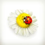 Ladybug and chamomile Stock Images