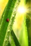 Ladybug che arrampica un foglio Immagine Stock