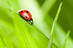Ladybug che funziona avanti sulla lamierina di erba verde immagini stock libere da diritti