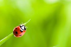 Ladybug che funziona avanti sulla lamierina di erba verde fotografia stock