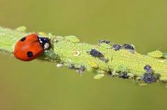 Ladybug che mangia gli afidi Fotografia Stock Libera da Diritti