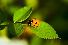 Ladybug che si siede sul foglio verde immagine stock