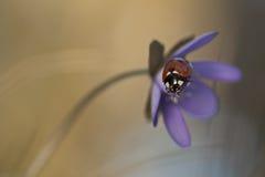 Ladybug che si siede sul liverleaf Immagini Stock Libere da Diritti