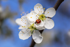 Ladybug on cherry flowers. Ladybug on cherry flowers in sunny spring day on sky background Royalty Free Stock Images