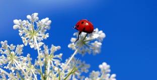 Ladybug in cima ad un fiore Fotografia Stock Libera da Diritti