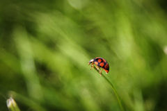 Ladybug climb on the grass Royalty Free Stock Image