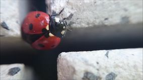 Ladybug climbing in cross from paving stone and cleaning it's self from closeup macro detail view. Captured from hand stock video