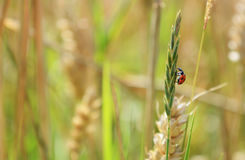 Ladybug climbing a grass stem Stock Photo