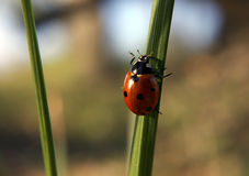 Ladybug climbing the green grass on sun Stock Images