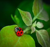 Ladybug climbing on green leaf Royalty Free Stock Images