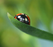 Ladybug climbing on green leaf macro Stock Images