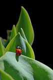 Ladybug climbing on leaves in black background Royalty Free Stock Photo