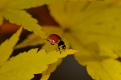 LADYBUG CLIMBING ON A MAPLE TREE. Coccinellidae crawling through the leaves of a Choral bark maple tree in Autumn Royalty Free Stock Photos