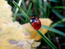 Ladybug Climbing a Piece of Grass Stock Images