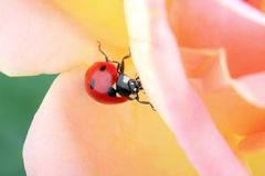 Ladybug climbing a pink  rose. In movement Royalty Free Stock Images