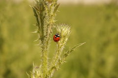 Ladybug climbing a thorn Royalty Free Stock Images