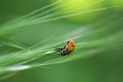 Ladybug Climbs down Grass Royalty Free Stock Photo