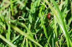 Ladybug climbs grass blade stock image