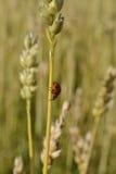 Ladybug. A ladybug climbs on a straw Stock Images