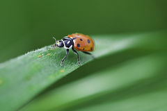 Ladybug Climbs up Grass Royalty Free Stock Images