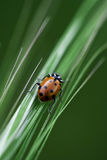 Ladybug Climbs up Grass. A Ladybug Climbs up silver and green grasses Stock Photography