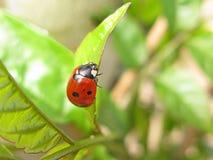 Ladybug close-up royalty free stock photography