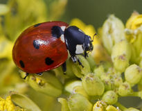 Ladybug. Close up of a beautiful red ladybug with black dots on a yellow flower Stock Photography